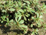 Pourpier potager, Portulaca oleracea