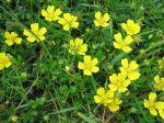 Potentille rampante, Quintefeuille, Herbe à cinq feuilles, Main-de-Mars, Potentilla reptans
