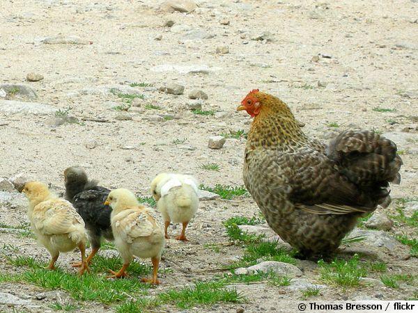 Comment obtenir des poussins - Cuisiner une poule faisane ...