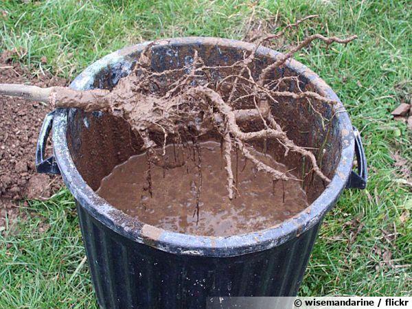 Le pralinage avant plantation d'un arbre