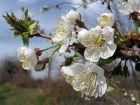 Merisier, Cerisier des bois, Merisier des oiseaux, Guigne, Bigarreau, Guignier sauvage, Prunus avium
