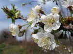 Merisier, Cerisier des bois, Merisier des oiseaux, Prunus avium