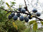 Prunelier, Épine noire, Épinette, Prunus spinosa
