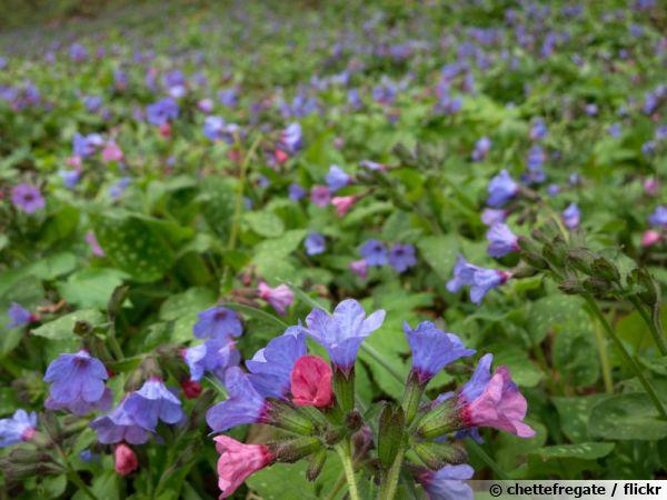 Des pulmonaires comme couvre-sol en fleurs