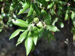 Chêne vert, Yeuse, Chêne faux houx, Quercus ilex