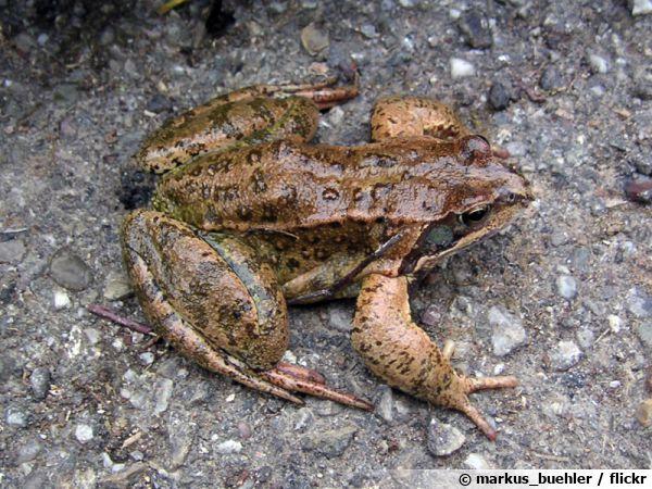 La grenouille rousse, un petit batracien à préserver