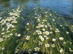 Renoncule d'eau, Grenouillette, Renoncule aquatique, Ranunculus aquatilis