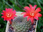 Cactus à couronne rouge, Rebutia minuscula