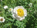 Acroclinium à fleur de camomille, Rhodanthe anthemoides