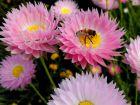 "Immortelle d'Australie, Acroclinium rose, Acroclinie rose, <span style=""font-style:italic;"">Rhodanthe chlorocephala ssp. rosea</span>"
