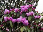 Rhododendron campanulé, Rhododendron campanulatum