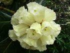 Rhododendron de McCabe, Rhododendron macabeanum