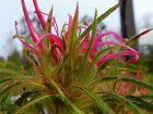 Azalée spider, Rhododendron nain à feuilles étroites, Rhododendron stenopetalum 'Linearifolium'