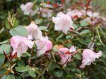 Rhododendron de William, Rhododendron nain, Rhododendron williamsianum
