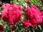 Rosier de chine, Rosa chinensis