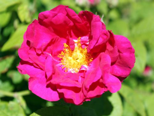 Rosier de france rosa gallica planter cultiver multiplier - Rosier mange par des chenilles ...