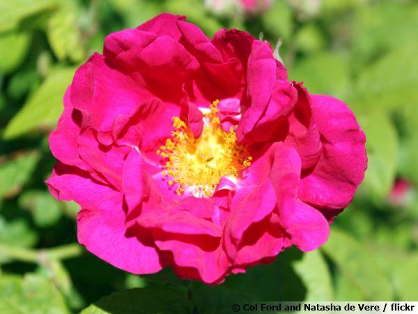 Rosa gallica var. officinalis, le rosier de Provins