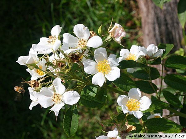 Rosier Musque Rose Musquee Rosa Moschata Planter Cultiver