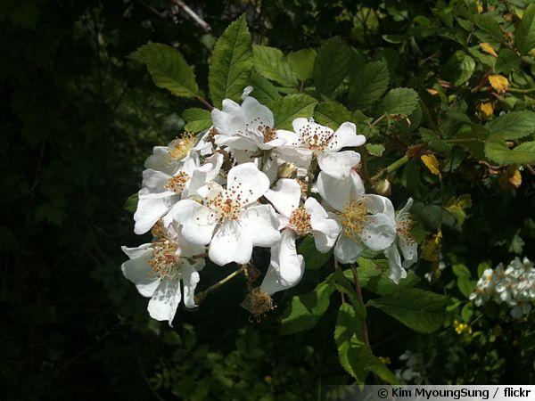 Rosier multiflore, Rosa multiflora