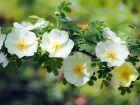 Rosier pimprenelle, Rosa pimpinellifolia