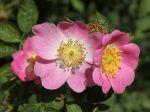 Eglantier rouge, Rosier rouille, Rosa rubiginosa