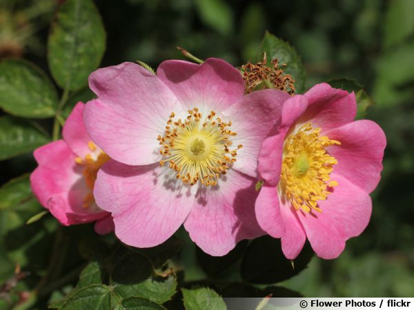 eglantier rouge rosier rouille rosa rubiginosa planter cultiver. Black Bedroom Furniture Sets. Home Design Ideas