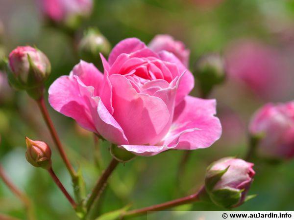 Une belle rose rose...