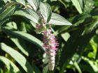 Faux Buddleja, Menthe en arbre, Rostrinucula dependens