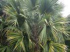 Palmier sombrero, Palmier de Porto Rico, Palmier à chapeau, Sabal causiarum