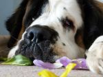 Le Saint Bernard, un instinct de protection