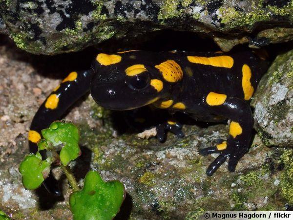 Une salamandre tachetée, un amphibien nocturne sortant de son trou