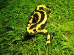 La salamandre tachetée, un dragon dans les sous-bois