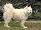 Le Samoyède, un chien nordique