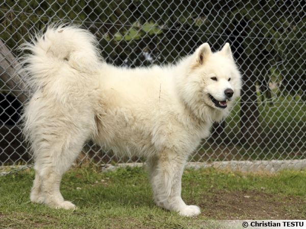 Le Samoyède, un chien à l'allure de grosse peluche