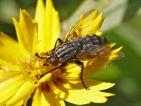 Mouche à damier sur une fleur de souci