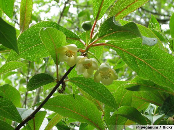Schisandre à grandes fleurs, Magnolia grimpant, Schisandra grandiflora