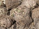 Fausse rose de Jéricho, Mousse de résurrection, Plante dinosaure, Fleur de pierre, Sélaginelle reviviscente, Selaginella lepidophylla
