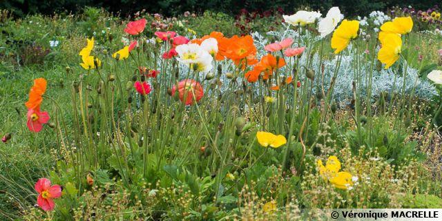 Comment semer des plantes vivaces? (suite)