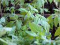 Quand semer les tomates?