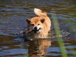 Le Shiba Inu, un chien de châsse hors pair