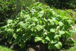 Poire de terre, Cochet, Yacon, Smallanthus sonchifolius