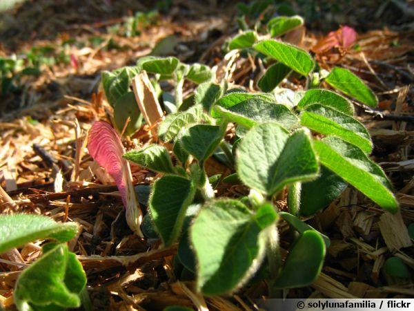 Jeunes pousses de soja après un semis