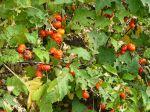 Aubergine africaine, Aubergine écarlate, Tomate amère, Solanum aethiopicum