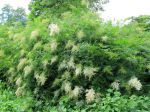 Sorbier fausse spirée, Sorbaire à feuilles de sorbier, Sorbaria sorbifolia