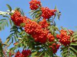 Fruits du Sorbier des oiseleurs, Sorbus aucuparia
