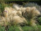 Cheveux d'ange, Stipa tenuissima