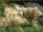 Stipe cheveux d'ange, Stipa tenuissima