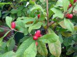 Baie du miracle, Synsepalum dulcificum cultivé en pot sous serre