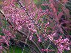 Tamaris de printemps à petites fleurs, Tamarix parviflora