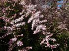 Tamaris de printemps, Tamaris à quatre étamines, Tamarix tetrandra
